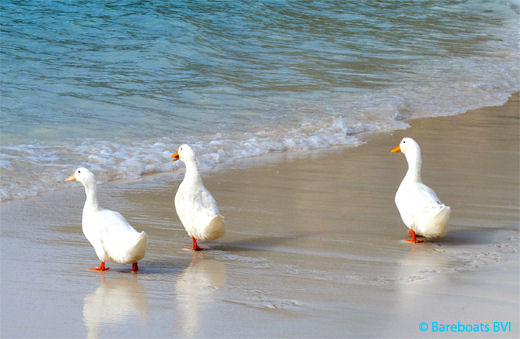 JVD_White_Bay_Beach_Ducks