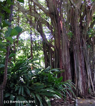 To_Botanic_Garden_Banyan_Tree